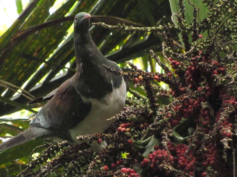 Kererū eating Nikau palm fruit
